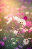 The Cosmos Flower Stock Image