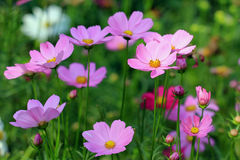 Cosmos flower in the garden Royalty Free Stock Image