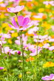 Cosmos flower in the garden Stock Image