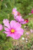 Cosmos Flower in garden Royalty Free Stock Photo