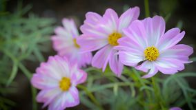 Cosmos flower in garden at winter or spring day for beauty and agriculture concept design stock video footage