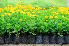 Cosmos flower garden Royalty Free Stock Image