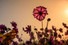 The Cosmos flower of grassland. Motning Royalty Free Stock Image