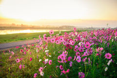 The Cosmos flower of grassland. Motning Stock Images
