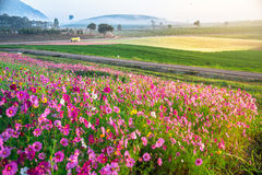 The Cosmos flower of grassland. Motning Stock Photography