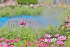 A Cosmos flower on a green back ground closeup. The Cosmos flower on a green back ground closeup royalty free stock photography
