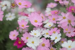 The Cosmos flower on a green back ground closeup. A Cosmos flower on a green back ground closeup stock photography