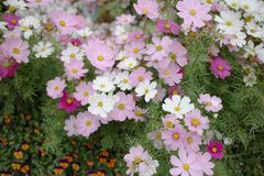 The Cosmos flower on a green back ground closeup. A Cosmos flower on a green back ground closeup royalty free stock photo