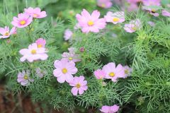 The Cosmos flower on a green back ground closeup. A Cosmos flower on a green back ground closeup stock image