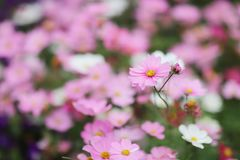 The Cosmos flower on a green back ground closeup. A Cosmos flower on a green back ground closeup royalty free stock photography