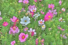 The Cosmos flower on a green back ground closeup. Cosmos bipinnatus cloroful flowers garden in spring royalty free stock image