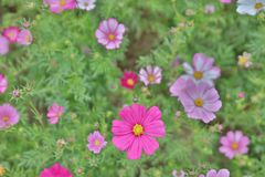 The Cosmos flower on a green back ground closeup. Cosmos bipinnatus cloroful flowers garden in spring royalty free stock photo