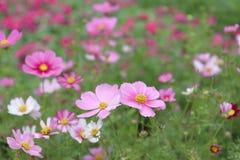 The Cosmos flower on a green back ground closeup. Cosmos bipinnatus cloroful flowers garden in spring royalty free stock photos