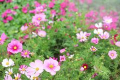 The Cosmos flower on a green back ground closeup. Cosmos bipinnatus cloroful flowers garden in spring stock images