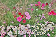 The Cosmos flower on a green back ground closeup. Cosmos bipinnatus cloroful flowers garden in spring stock photo