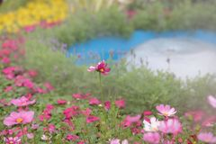 A Cosmos flower on a green back ground closeup. The Cosmos flower on a green back ground closeup royalty free stock photo