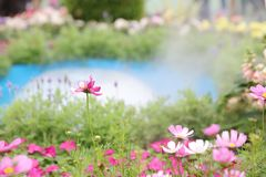 A Cosmos flower on a green back ground closeup. The Cosmos flower on a green back ground closeup royalty free stock photos
