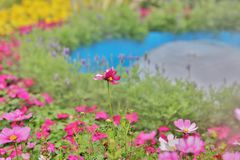 A Cosmos flower on a green back ground closeup. The Cosmos flower on a green back ground closeup royalty free stock images