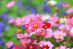 The Cosmos flower on a green back ground closeup. A Cosmos flower on a green back ground closeup royalty free stock image