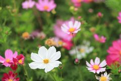The Cosmos flower on a green back ground closeup. A Cosmos flower on a green back ground closeup stock photo