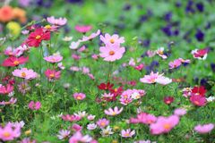 The Cosmos flower on a green back ground closeup. A Cosmos flower on a green back ground closeup stock photos