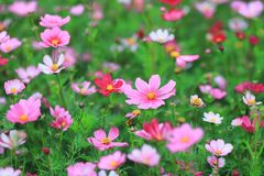 The Cosmos flower on a green back ground closeup. A Cosmos flower on a green back ground closeup stock images