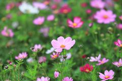 The Cosmos flower on a green back ground closeup. A Cosmos flower on a green back ground closeup royalty free stock images