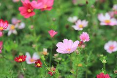 The Cosmos flower on a green back ground closeup. A Cosmos flower on a green back ground closeup royalty free stock photos