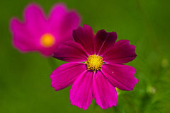 Cosmos flower on a green background. Purple cosmos flower on a green background Stock Photography