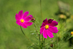 Cosmos flower on a green background. Purple cosmos flower on a green background Stock Images