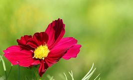 Cosmos flower on a green background Royalty Free Stock Photography