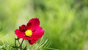 Cosmos flower on a green background Royalty Free Stock Photo