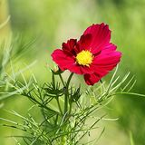 Cosmos flower on a green background Stock Photos