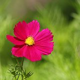 Cosmos flower on a green background Royalty Free Stock Images
