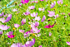 The Cosmos Flower Royalty Free Stock Image