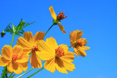 Cosmos flower groups Stock Photos