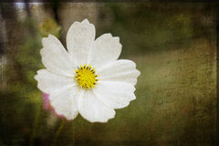 Cosmos Flower Grunge Stock Photos