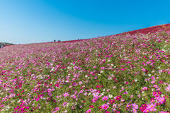 Cosmos flower in Hitachi Park Stock Images