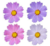 Cosmos flower isolate royalty free stock images
