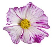 Cosmos flower isolated royalty free stock images