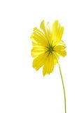 Cosmos  flower  isolated on white background. Stock Photography
