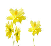 Cosmos  flower  isolated on white background. Stock Photos