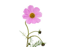 Cosmos Flower isolated Stock Photos