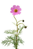 Cosmos Flower isolated Royalty Free Stock Photo