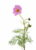 Cosmos Flower isolated Stock Image