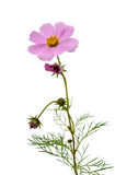 Cosmos Flower isolated Stock Photography