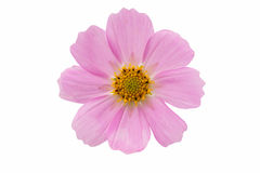Cosmos Flower isolated Royalty Free Stock Photos