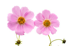 Cosmos Flower isolated Stock Images