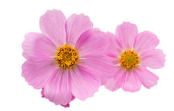 Cosmos Flower isolated Royalty Free Stock Image