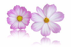 Cosmos flower isolated on white Stock Photos